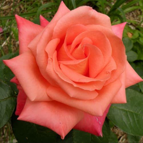 роза фольклор фото