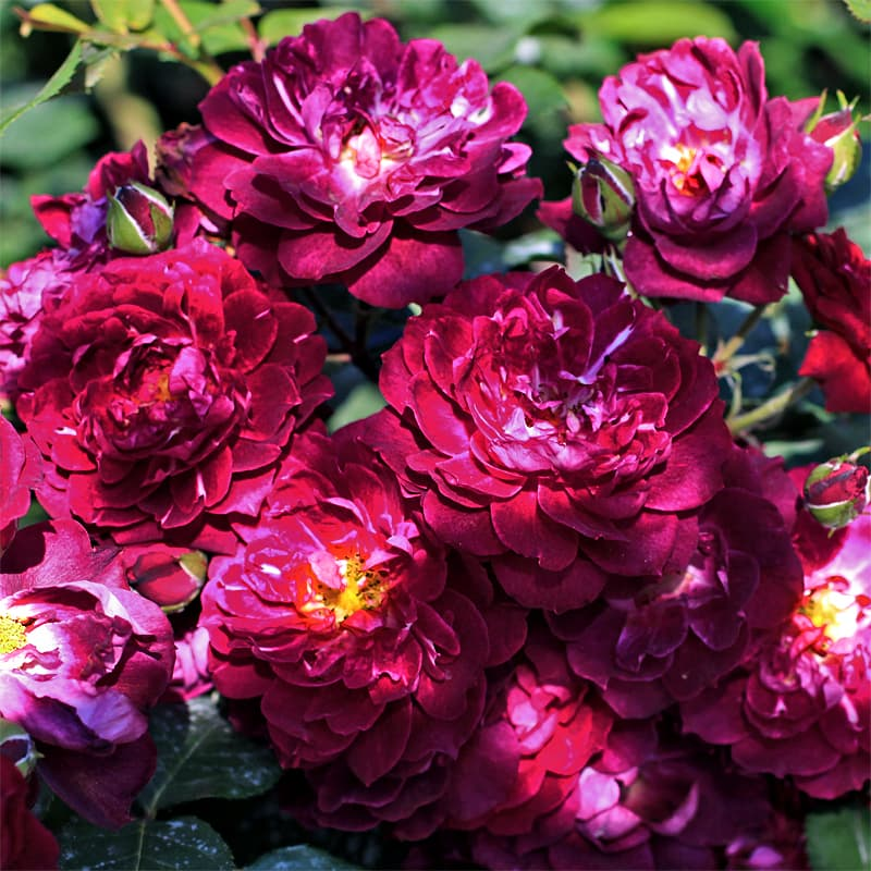 роза кордула фото и описание