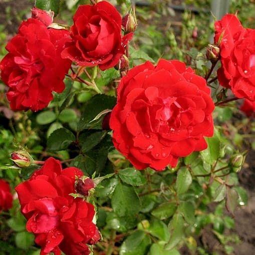 Купить канадские розы в украине цветы статица купить оптом