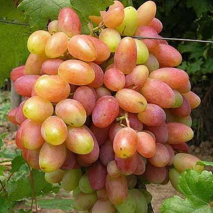 Купить саженцы винограда в новочеркасске в дсхи сайт объявлений кНовочеркасскр