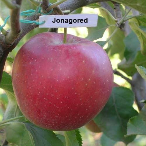 Картинки по запросу яблоня джонагоред