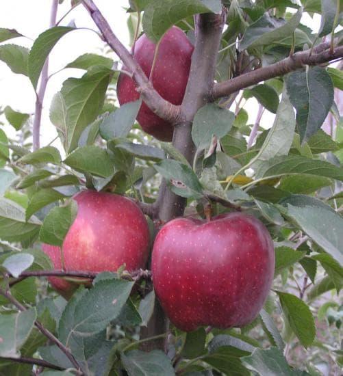ред делишес яблоня описание фото