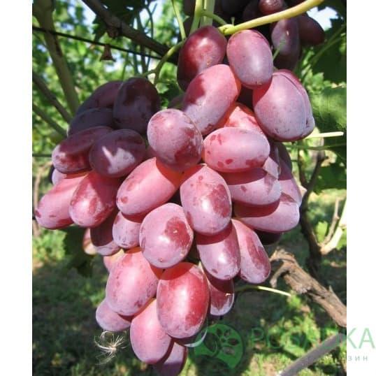 сорт винограда ризамат видео