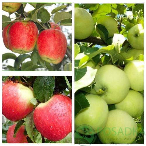 Яблоня дерево сад (Белый налив, Женева эрли, Дельбарестивале)